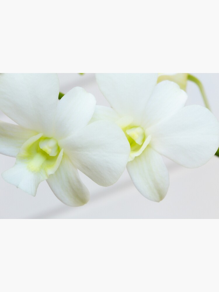 White orchids by fardad