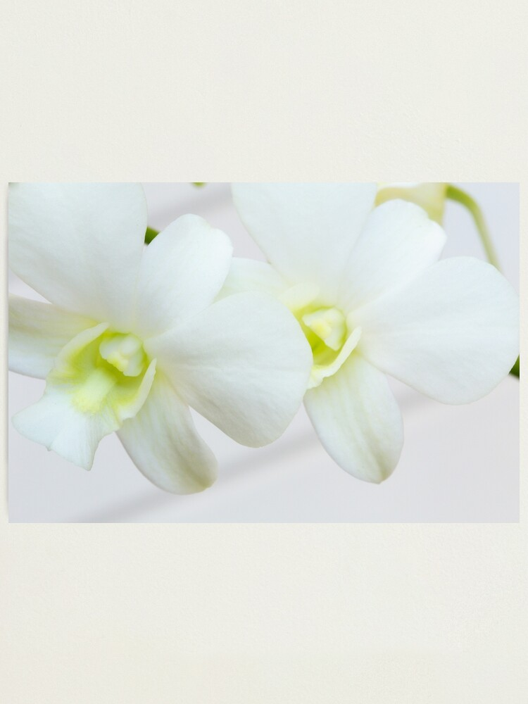 Alternate view of White orchids Photographic Print