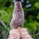 Meerkat: Keeping a watch by MattGrover