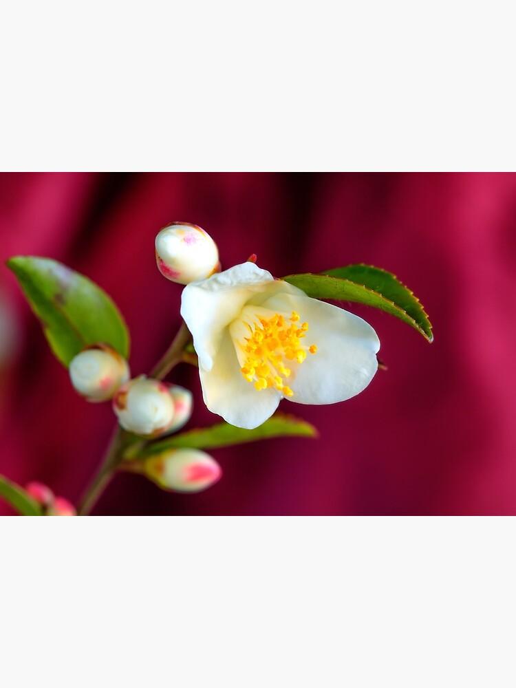 Camellia Cupido flower by fardad