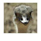 Ostrich by Fjfichman
