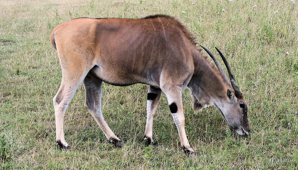 Antelope by rhallam