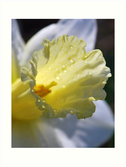 Daffodil Morning View by Sheri Nye
