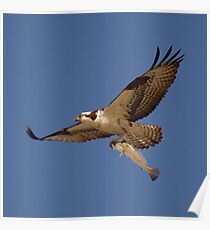 Osprey Fisher Poster
