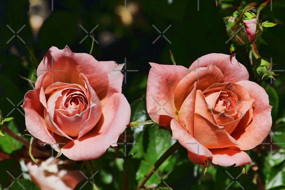 Peach patio roses by Avril Harris