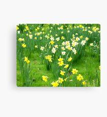 Spring Daffs Canvas Print