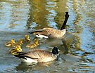 a new goose family taking a swim by tego53