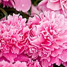 June Rose - Peony by Tracey  Dryka