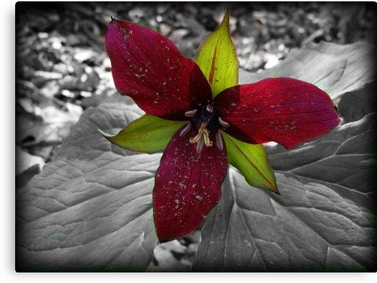 selective coloring flower-Trillium by vigor