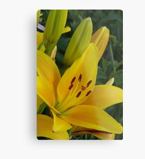 Cheops - Asiatic lily, my garden Metal Print