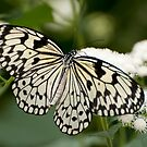 Paper Kite Butterfly - Idea leuconoe by Tracey  Dryka