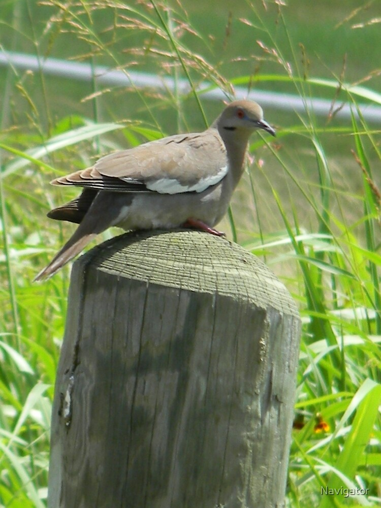 White Winged Dove by Navigator