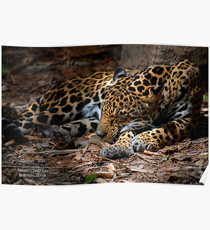 Jaguar Napping Poster