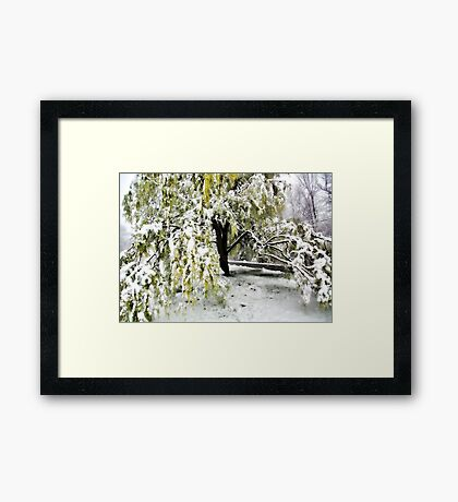 Old Tree and Heavy Wet Snow -- Bridgton,  Maine Framed Print