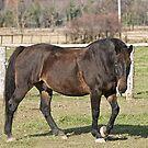 Ringo - Silver Creek Ranch, Ottawa, Ont by Tracey  Dryka