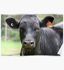 Dairy Cow, Tuross Heads Poster