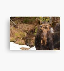 Spring Bull Moose Canvas Print