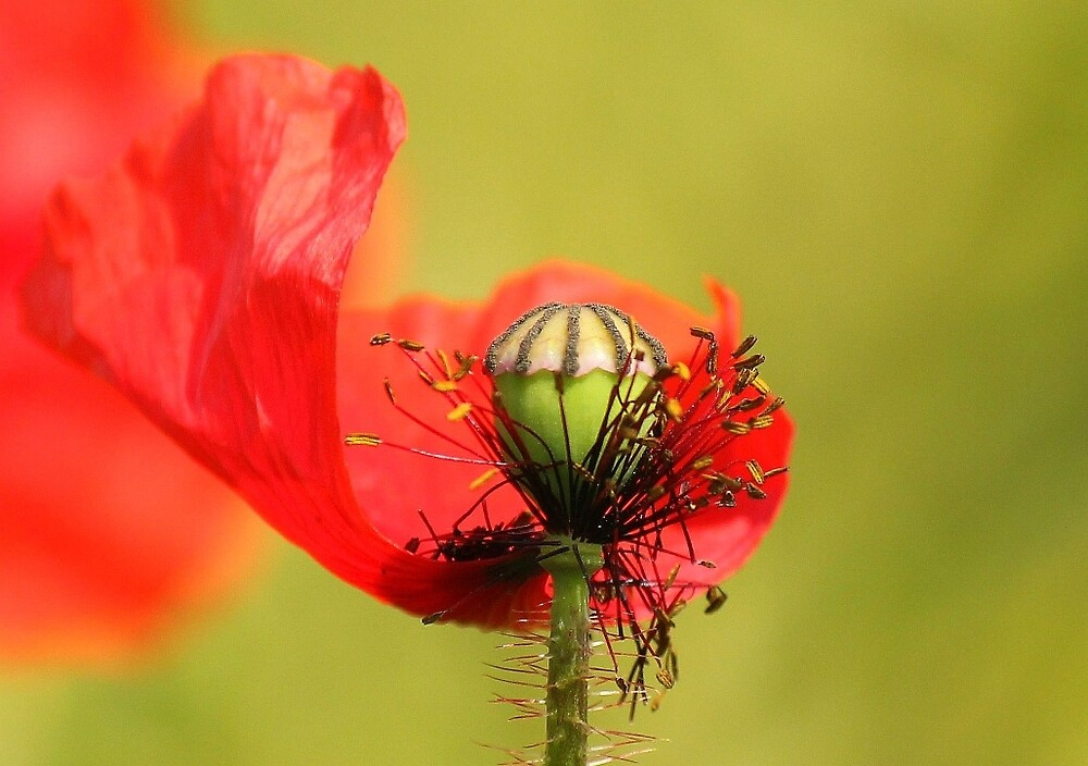 Another poppy by Dave646