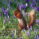 Lake District Red Squirrel in a bed of purple crocus by Martin Lawrence
