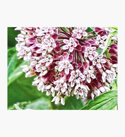 Milkweed Blume Fotodruck