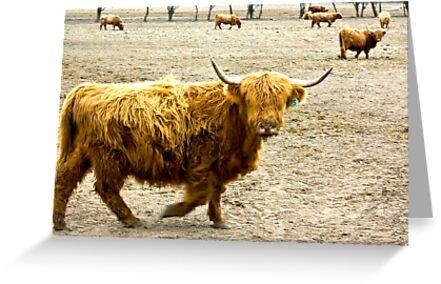 Highland Cattle #1 by Trevor Kersley