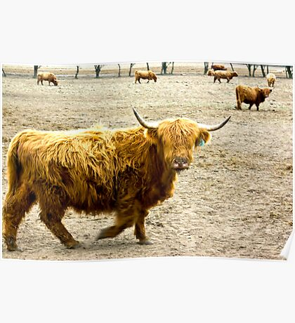 Highland Cattle #1 Poster