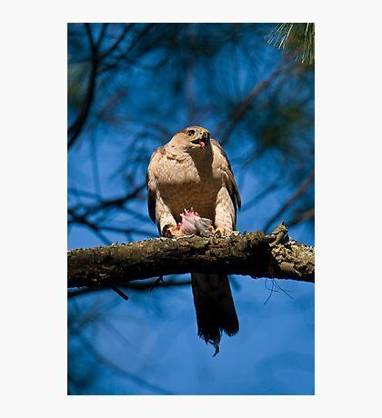 Feeding Cooper's Hawk Photographic Print