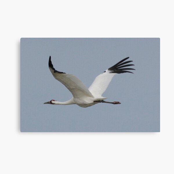 Whooping Crane in Flight Canvas Print