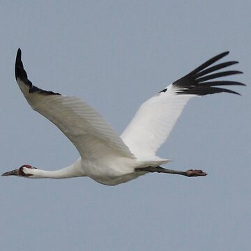 Whooping Crane in flight by KnutsonKr8tions