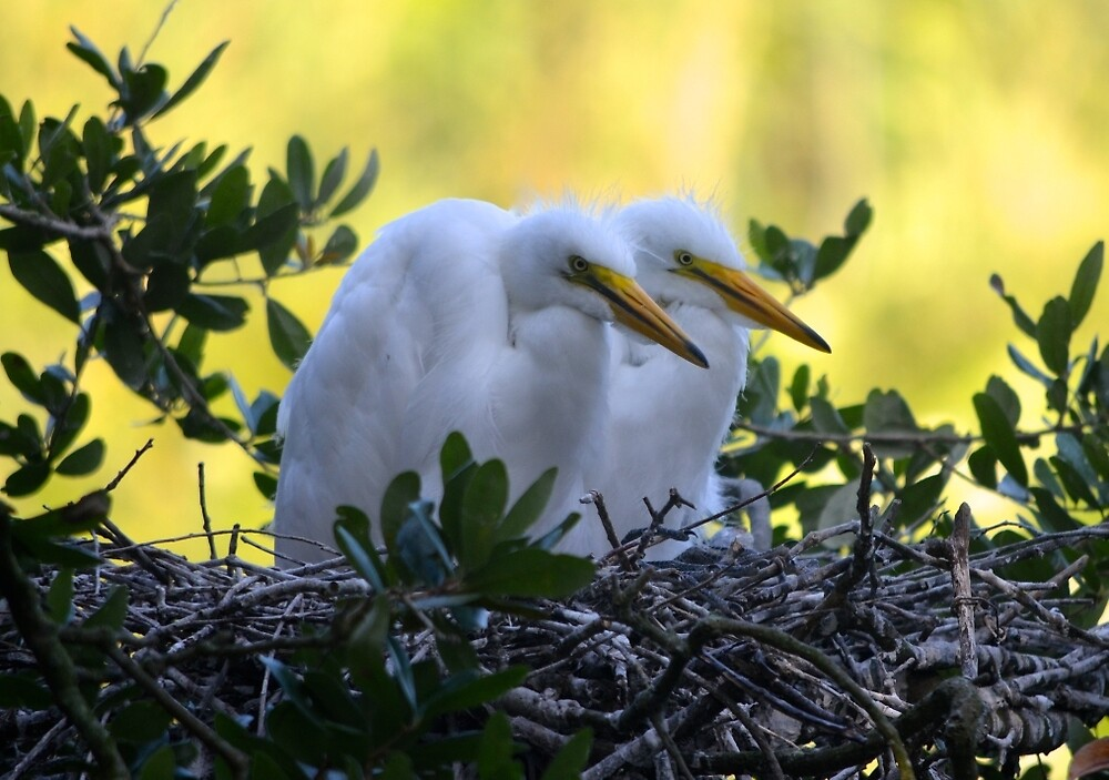 Pair of Young Egret Chicks by richardbryce