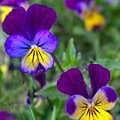 Viola by Sheri Nye