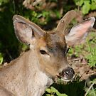 Blacktail Buck in the Spring... by RichImage