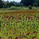 Millot field by dwilk