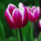 A Purple Tulip by Jennifer Hulbert-Hortman