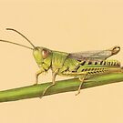Grasshopper by Lars Furtwaengler