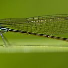Damselfly by Jonah Gautier