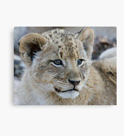 Male Lion Club Canvas Print