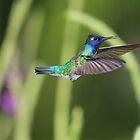 Violet-headed Hummingbird Hovering by hummingbirds