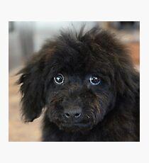 Sky, An Arizona Mini-Toy Poodle Photographic Print