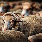 (A sheep or two) Homeward Bound by Eve Parry