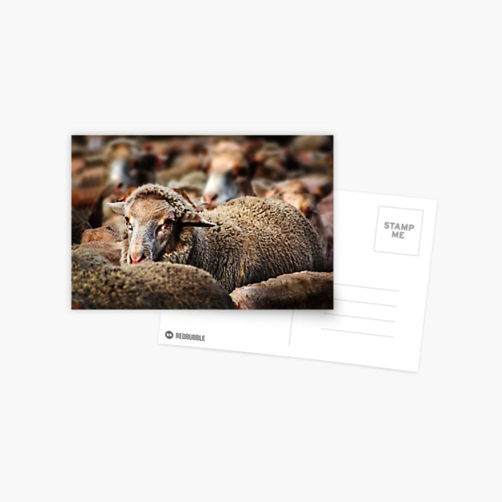 (A sheep or two) Homeward Bound Postcard