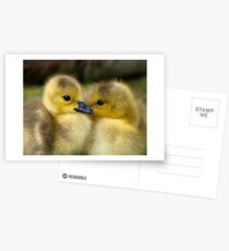 Baby Duck Love Postcards