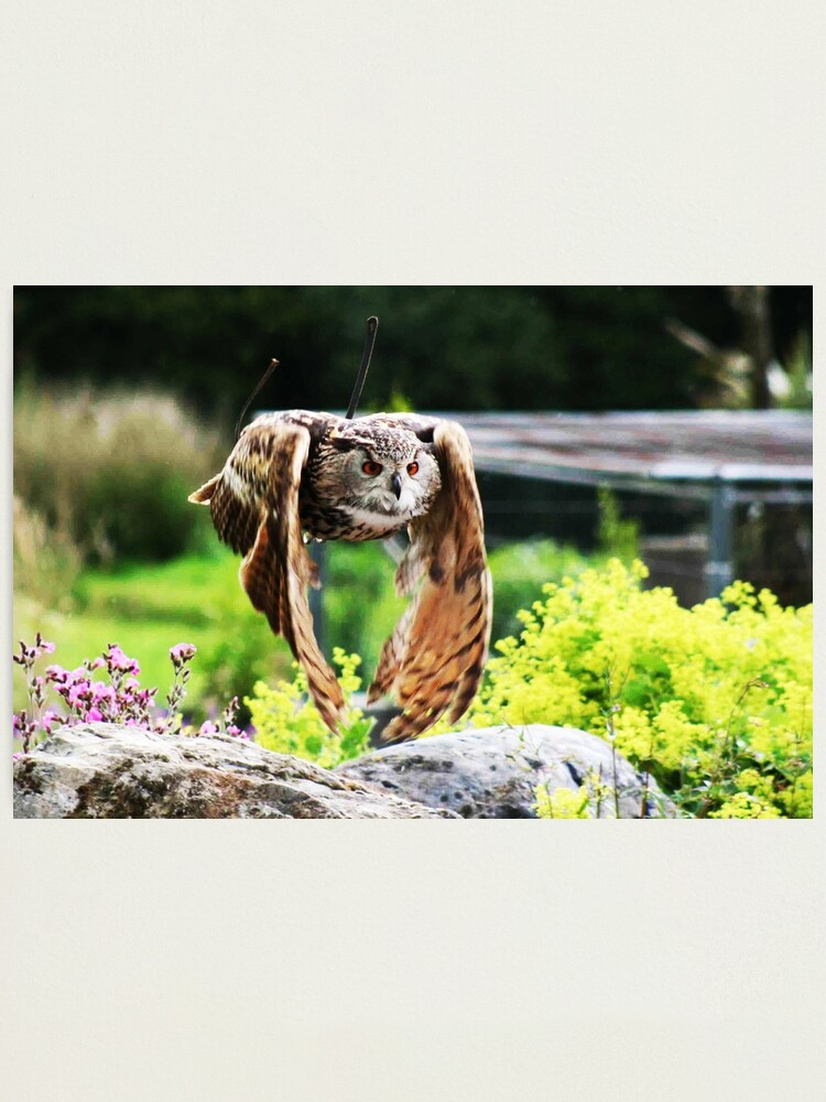 Alternate view of Owl In Flight Photographic Print