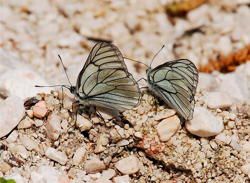 Aporia Crataegi Butterflies by jojobob