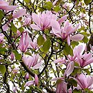 Magnolia (Tulip Tree) by George Cousins