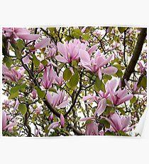 Magnolia (Tulip Tree) Poster