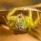 «Araña de salto verde norteña» de M. Fittock