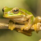 Eastern Sledge Frog by M. Fittock