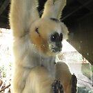 Do, do, do the Funky Gibbon by skyhorse