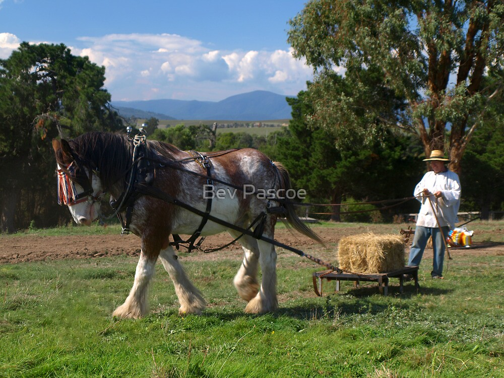 Clydesdale working, Gulf Station, Australia by Bev Pascoe